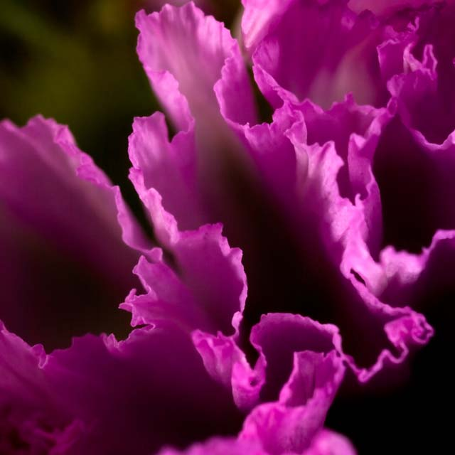 Pink Lettuce?